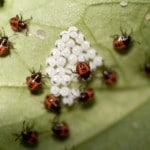 Stink Bugs hatching