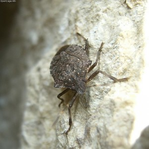 Stink Bugs What Are They Green Pest Solutions