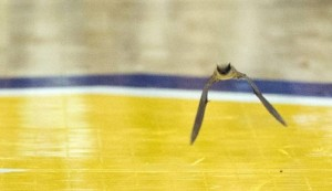 Bat Delays Milwaukee Basketball Game