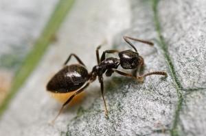 Odourous House Ant