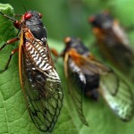 They're back: 17-year Cicadas to Swarm from Georgia to New York