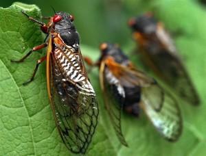 Veiny 17-year Cicada