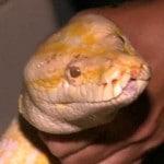 Sunshine State Resident Finds Massive Burmese Python in Shed