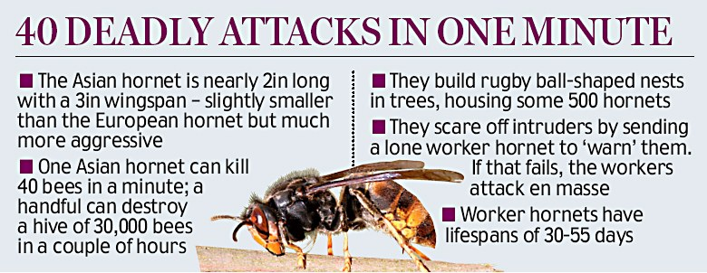 Asian Killer Hornet Facts