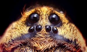 Wolf spiders are very common in Pennsylvania