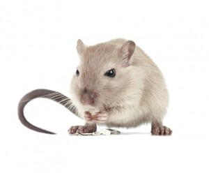 Operation Dead Mouse