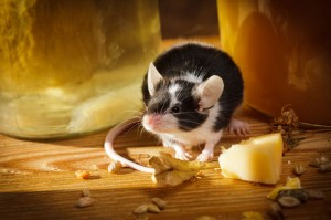 Is Cheese the Best Bait for Rat Traps?