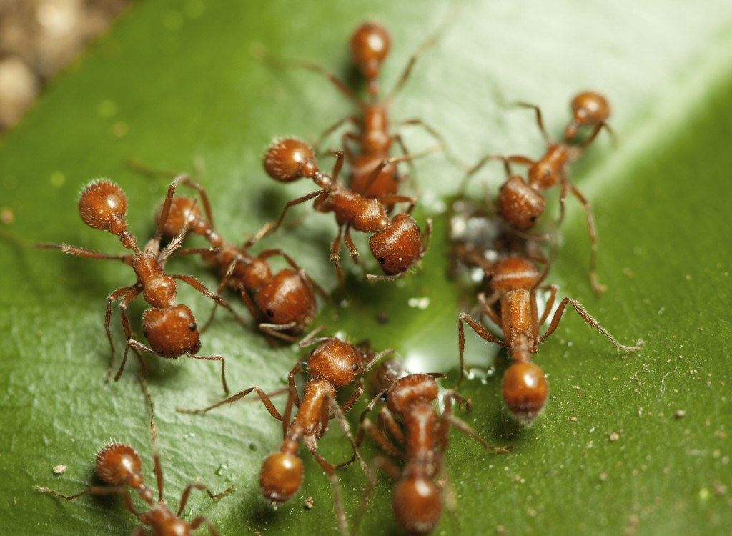 "Not all reddish ants are ""red ants"""