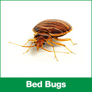 PL-bed-bugs