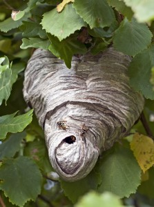 real wasp house, out in the open, among green leaves
