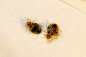 5 Steps To Check Your Hotel For Bed Bugs Green Pest Solutions