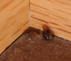 Would Bed Bugs Leave Black Spots