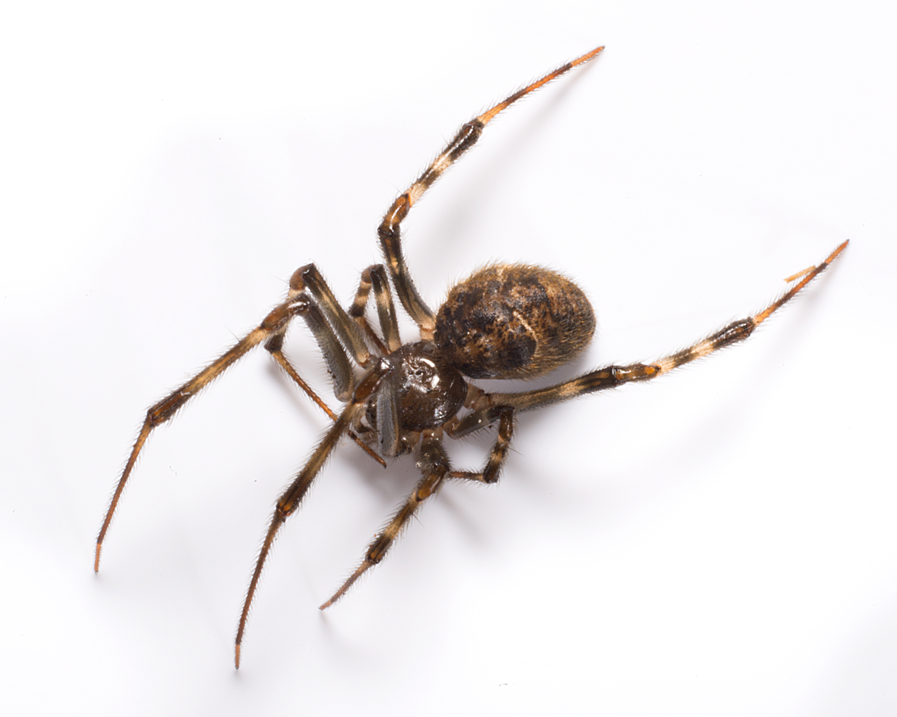 Daddy Long Legs Mon House Spider