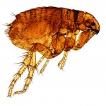 Tips to Vacuum Your House of Fleas