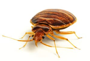 Bed Bug Treatments Pa Nj Green Pest Solutions