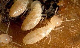 get rid of termites before they damage your home