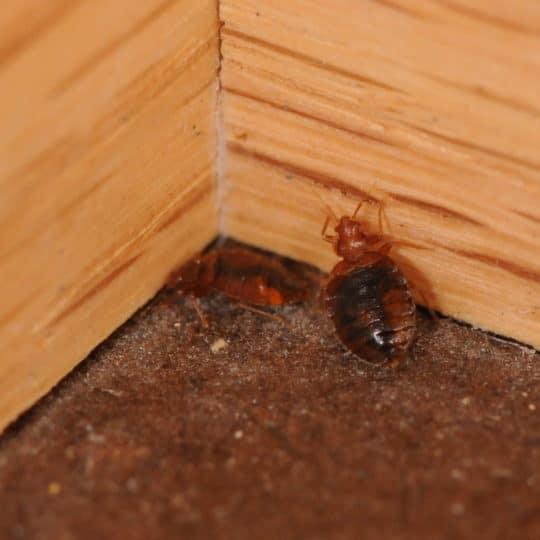 Bed Bugs in Corner