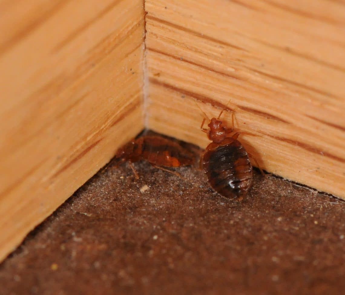 How do you get bed bugs? - photo#24