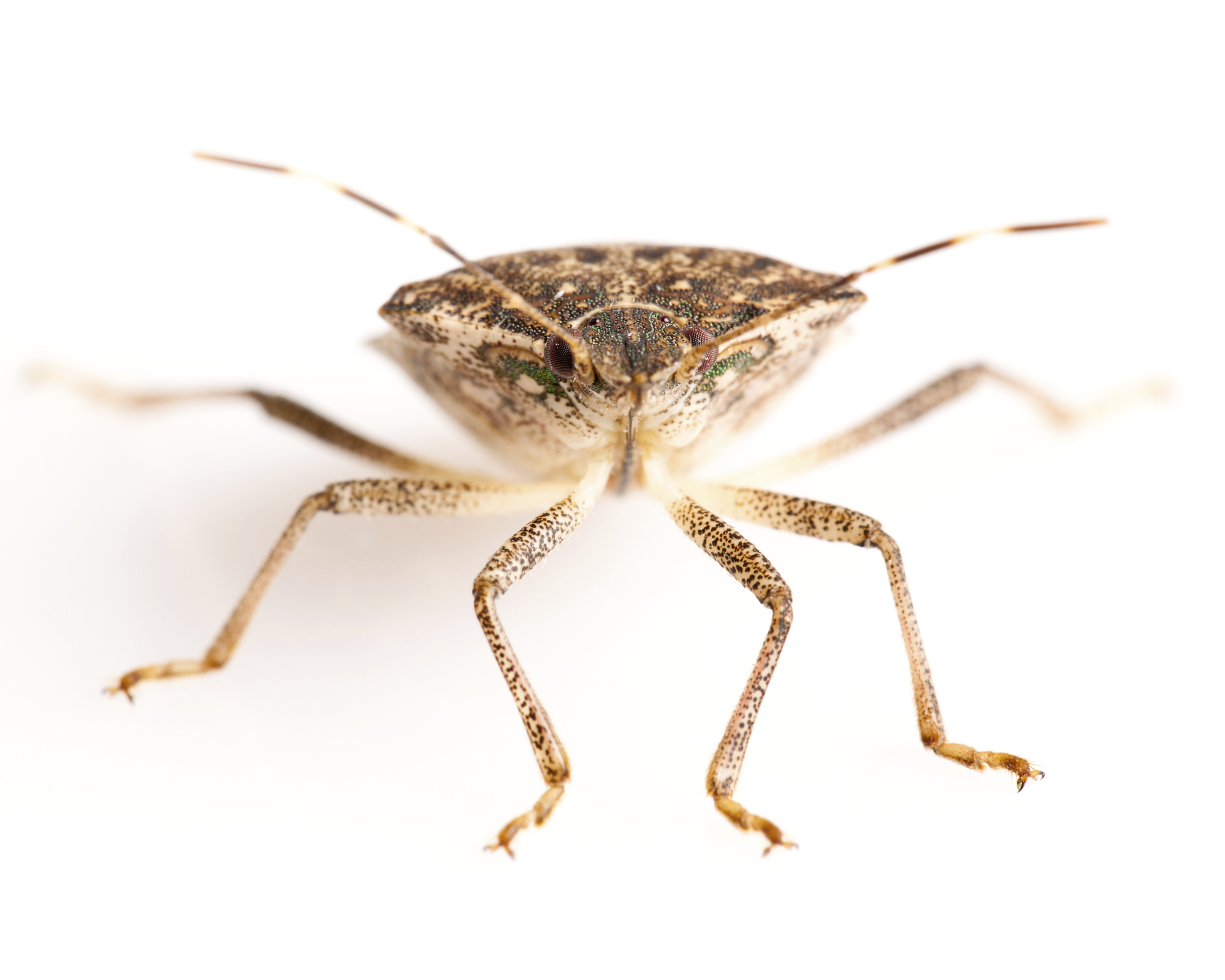 Stink Bug Prevention Tips How To Prevent Stink Bug Invasions
