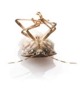 Stink Bugs - How to Remove Stink Bugs Without Squishing Them