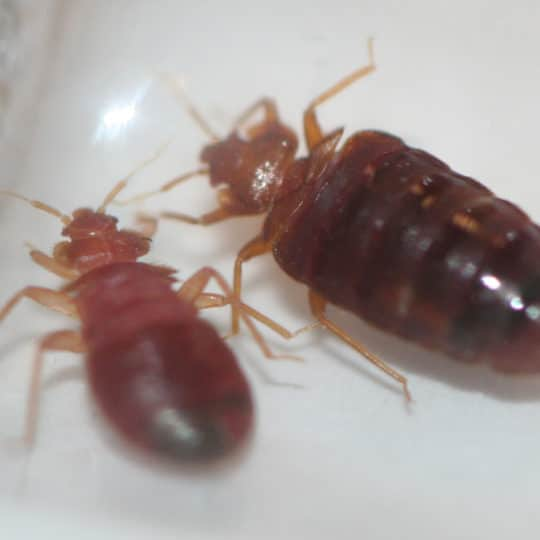 Do Bed Bugs Spread Disease?