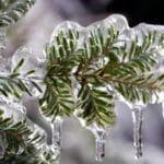 Frozen Evergreen
