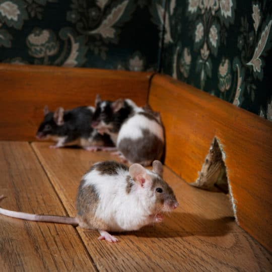 How to Prevent Mice From Entering Your Home