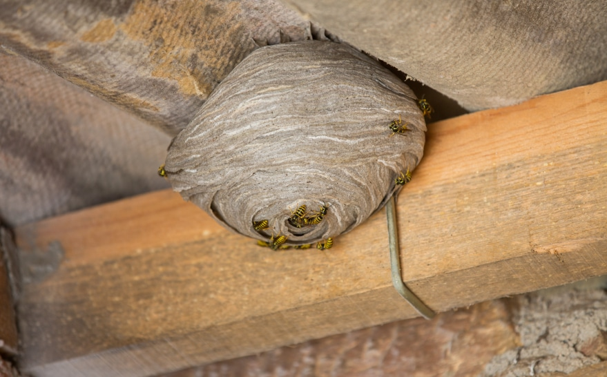 Tips For Eliminating A Paper Wasp Nest