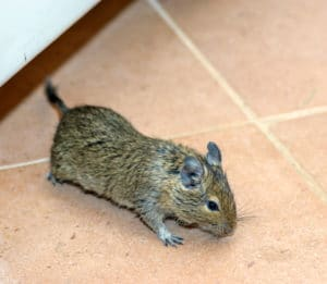 Rodent: Home mouse
