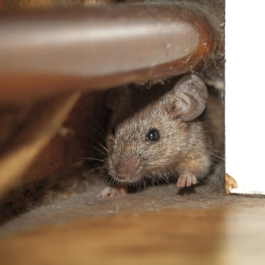 Tips to Prepare Your Home for Mice Invasions
