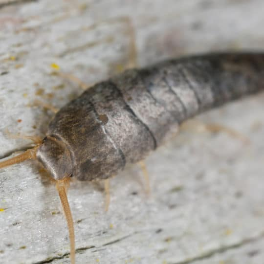 How to Prevent Silverfish