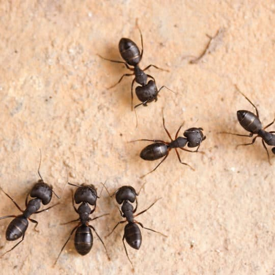 How to Detect Carpenter Ants