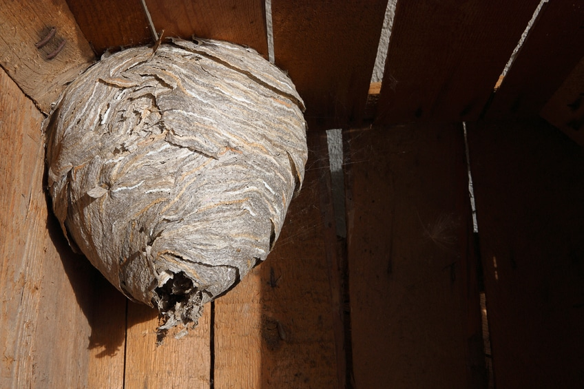 Removing A Hornet S Nest On Your Own