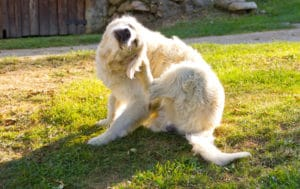 Get rid of fleas on your pets