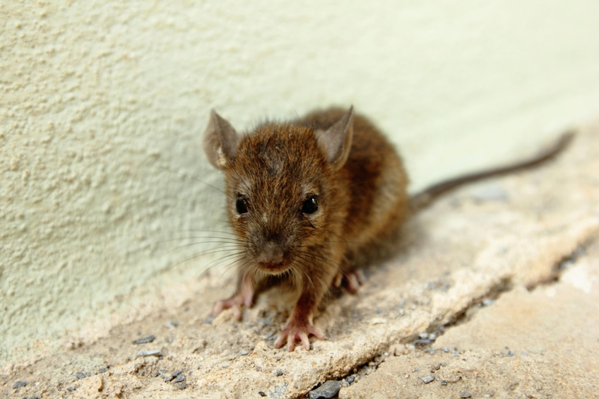 Rodent Problems: 5 Signs That You are Harboring Mice in Your