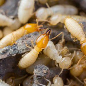 Termite colony