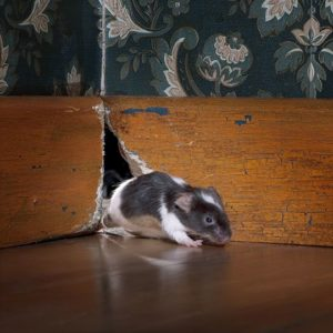 Mouse in home
