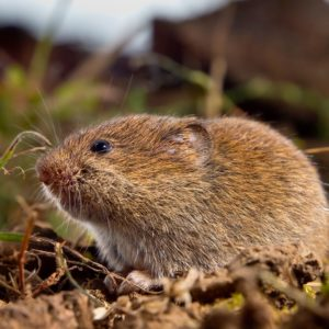 How to exterminate voles