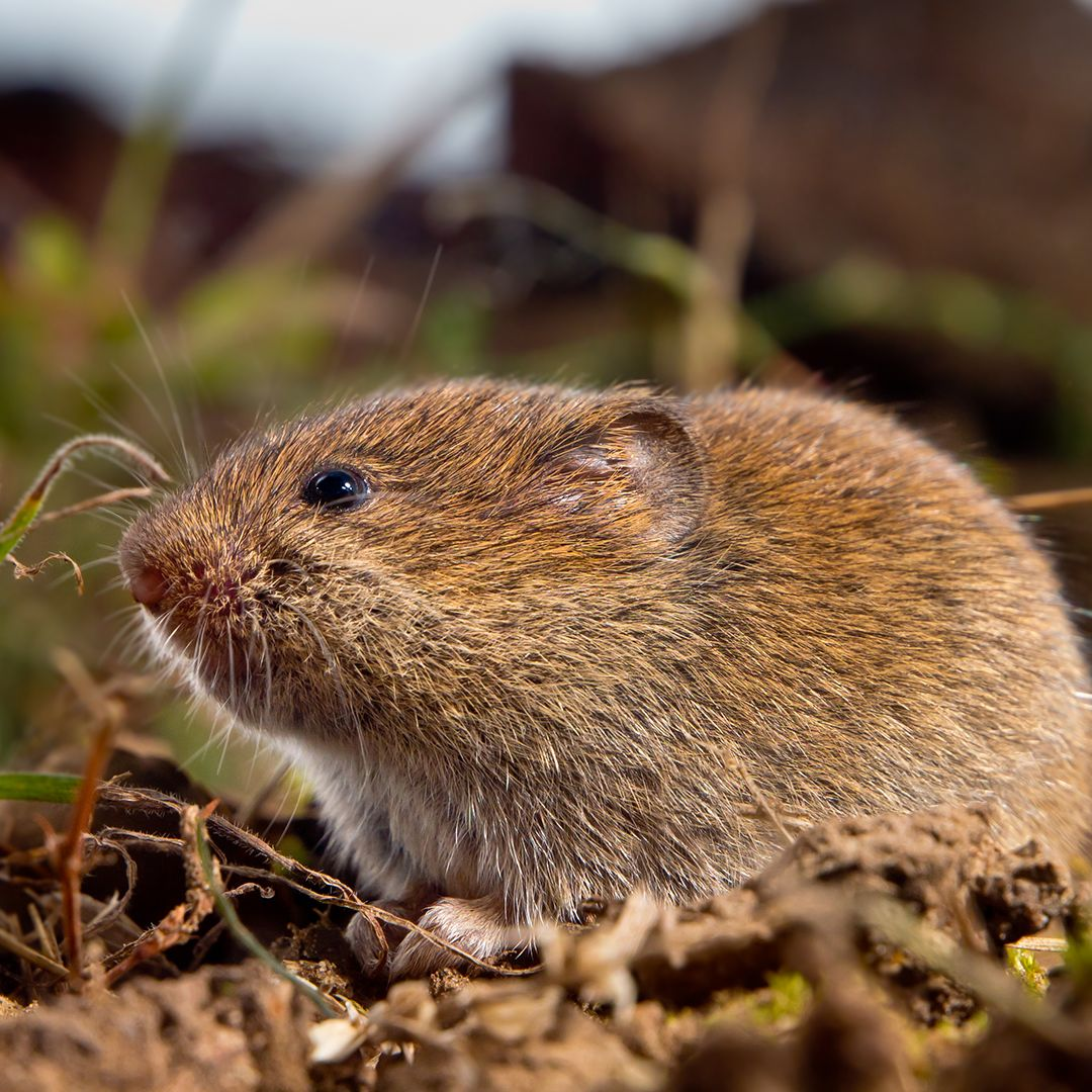 Pest Control In Boyertown Mail: Exterminate Voles: How To Get Rid Of These Rodents