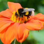 Are Bumble Bees Endangered?