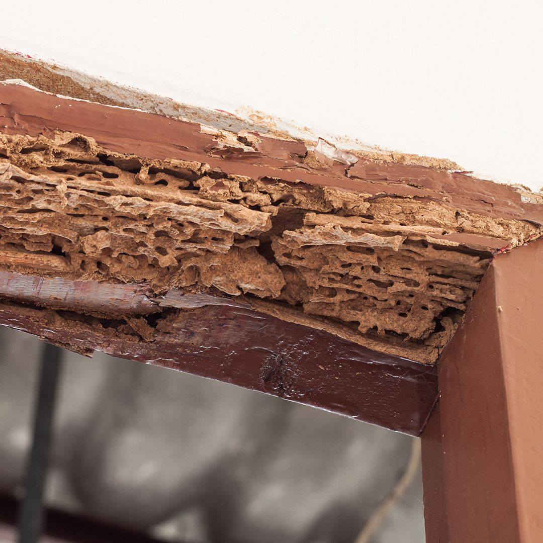 Termite Damage How Much Destruction Does An Infestation