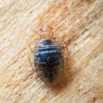 Bed Bugs: Do Heat Treatments Actually Work?