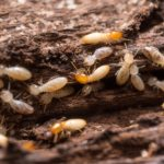 Types of Termites in Pennsylvania