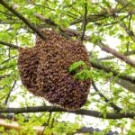What You Need to Know about a Bee Swarm