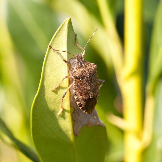 Why Do Stink Bugs Smell?