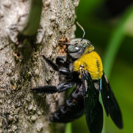 Five Things to Know about Carpenter Bees