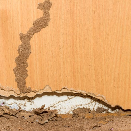 Why Do Termites Make Mud Tubes?