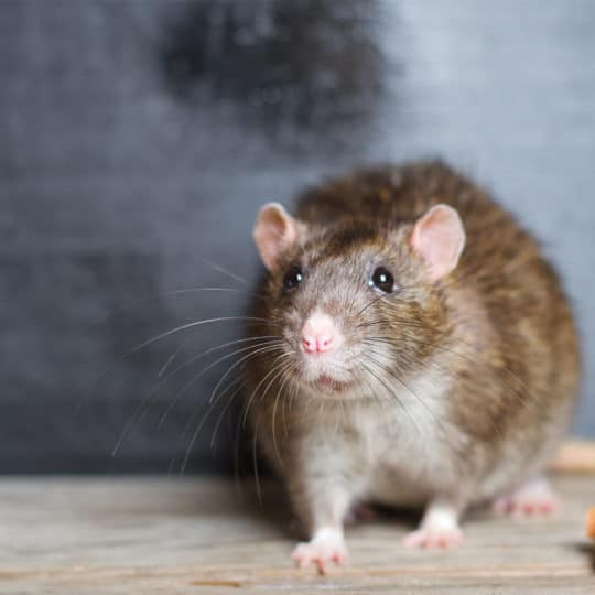 3 Things You Didn't Know About Rats