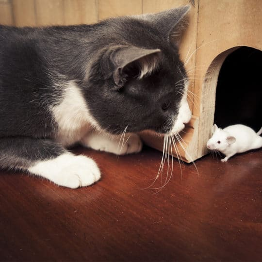 Can Cats Kill Mice and Rats?