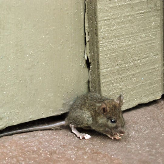 Rats vs. Mice: Which Rodent Is in Your Home?